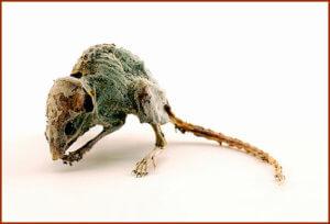 Яд, который смог мумифицировать мышь
