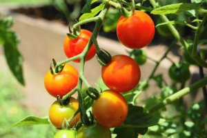 Помидоры Каспар: особенности выращивания, ключевые характеристики