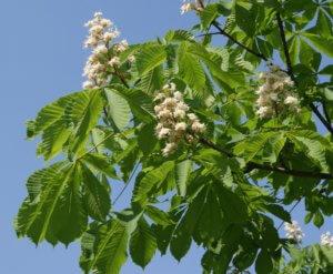 Как посадить каштан из ореха дома: выращивание рассады, уход и формирование кроны