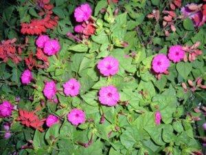 Цветок ночная красавица очень требователен к удобрениям