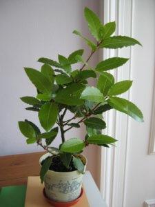 Лавровое дерево в домашних условиях