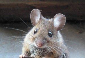 Мыши - главные вредители на даче