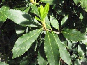 Молодые листочки на лавровом дереве