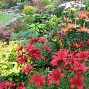 Уход за лилиями в саду: основные характеристики