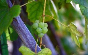 Первые плоды молодого винограда