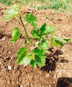 Молодой росточек винограда