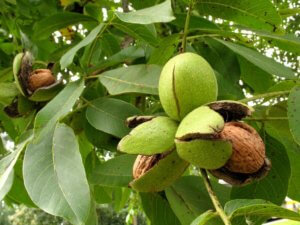 Созревший грецкий орех в саду