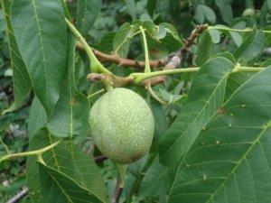 Плоды грецкого дерева