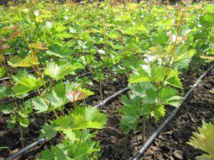 Молодая поросль винограда
