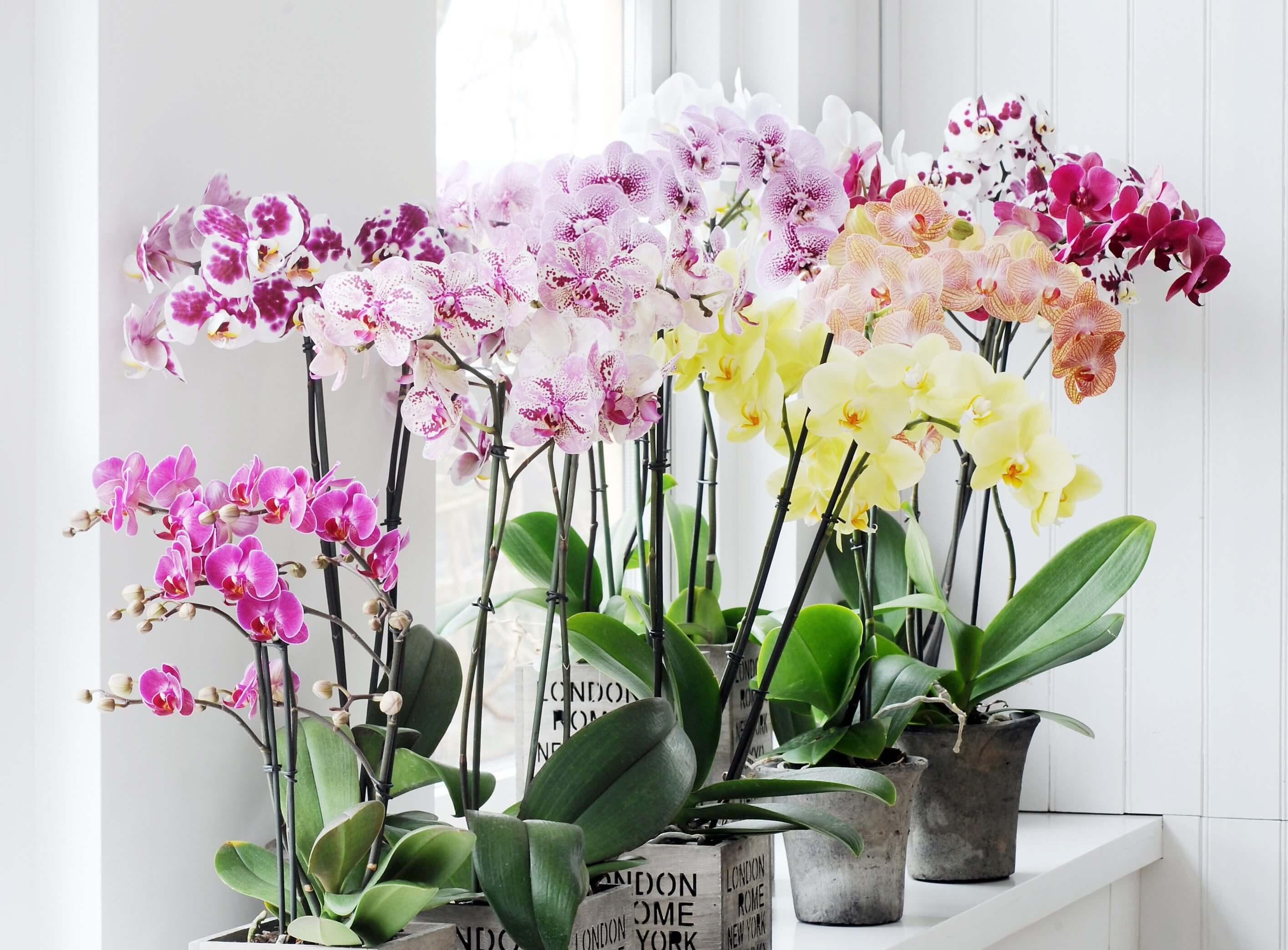 Что делать с Орхидеей после цветения, последовательность действий