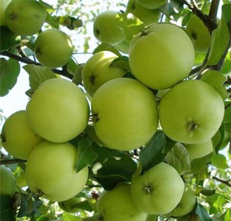 Яблоня Кроха, описание культуры, урожайность, особенности посадки и ухода