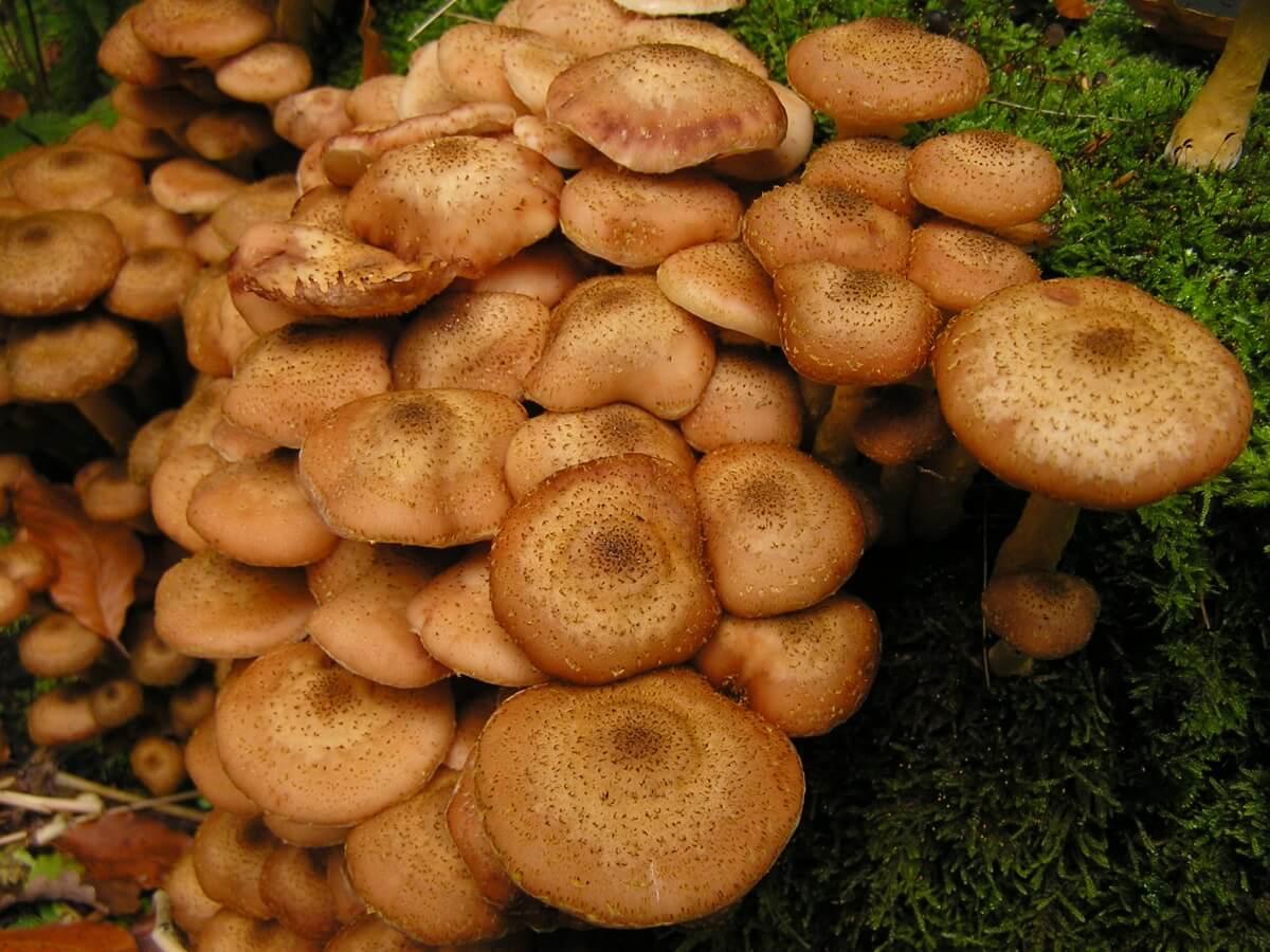 Какие бывают опята, как различить съедобные и несъедобные грибы