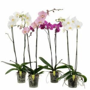 Почему появляются вялые листья у орхидеи фаленопсис, основные причины увядания