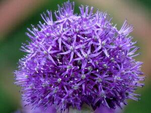 цветок рокамболя