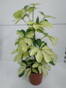 шефлера со светлыми листьями