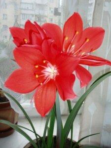 циртантус цветущий