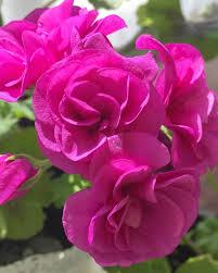 розовый цветок герани