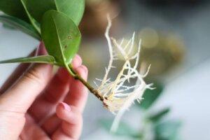 черенок фикуса с корнями