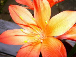 красивый цветок валлоты