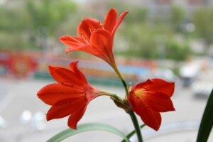 цветы валлоты