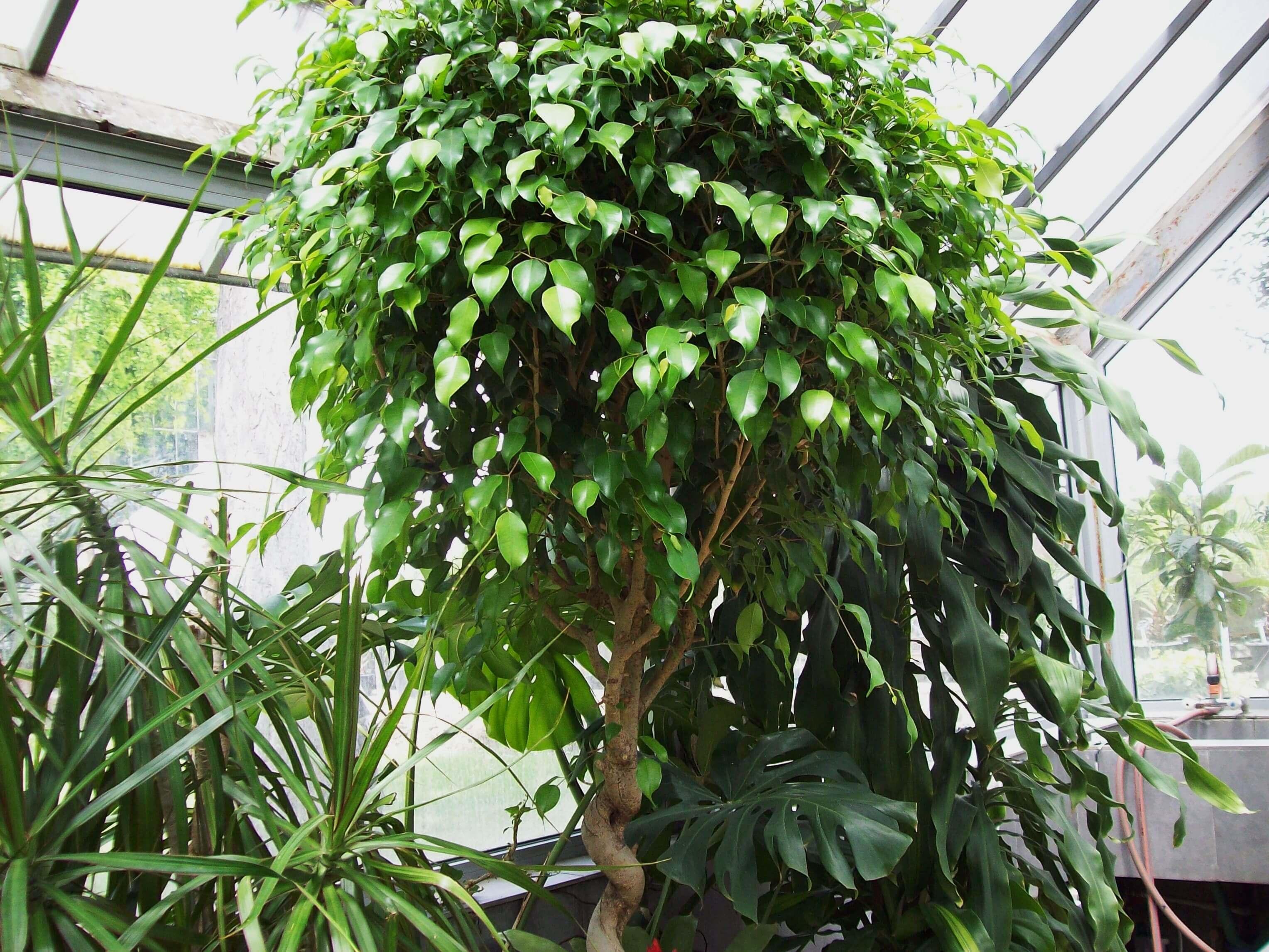 """Фикус """"Моник"""": все об уходе за вечнозеленым растением"""