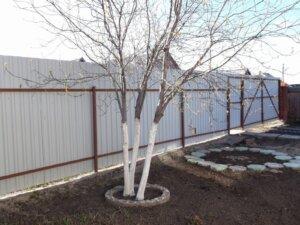 дерево в саду с белым стволом