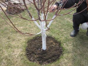 нанесение побелки на дерево
