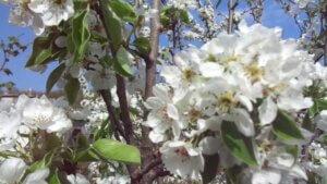 цветет груша