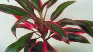листья кордилины