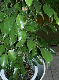 зеленый фикус
