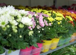 Если все условия соблюдаются, хризантема цветет всю осень до самых морозов