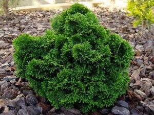 За кипарисовиком ухаживать придется только пока он молодой, потом  он будет украшать ваш сад весь год
