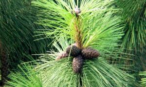 Семена вы можете найти в зрелых шишках