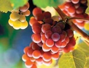 С появлением сорта русский ранний виноградарство стало доступным для Дальнего Востока, Сибири и центральной части России