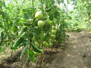 Следите за упругостью стеблей томатов, а также за цветом листьев, они должны быть темными