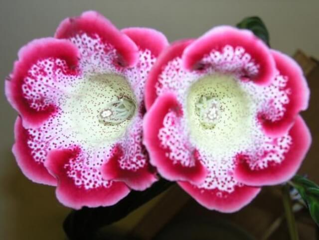 Цветок глоксиния: особенности ухода и размножения
