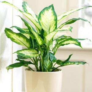 Диффенбахия относится к влаголюбивым растениям, поэтому в период активного роста она нуждается в обильном поливе
