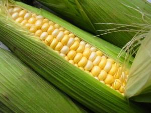 кукуруза на даче