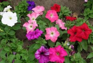 Выращивание петунии начинается еще зимой. Для этого необходимо иметь семена, землю, горшки и немного времени