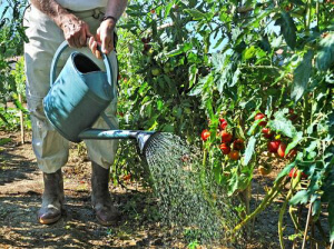 Поливать томаты можно только в солнечную погоду