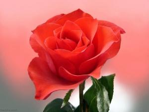 Роза — чувствительное растение