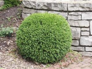Самшит - медленнорастущее растение, может выращиваться в виде кустарника или деревца