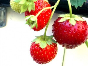 ягоды земляники