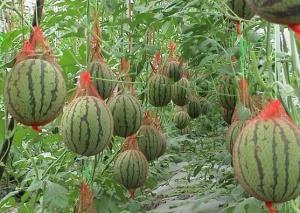 Оптимальная температура для выращивания арбузов - не менее 18 градусов Цельсия