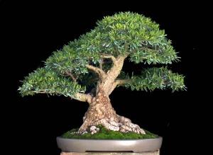 Несмотря на всеобщее мнение, фикус - самое лучшее растение для новичков в искусстве бонсай