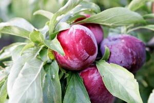плодовые слива