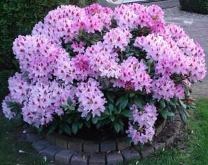 Цветы рододендрона. Уход за кустарником