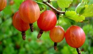ягода крыжовник