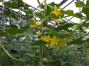 Завязи огурцов, со временем станут плодами до 20 см