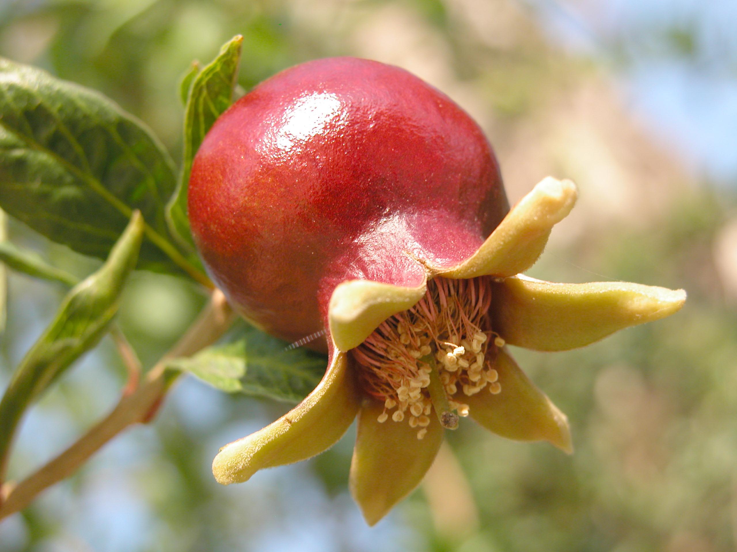 Комнатные растения: гранат выращивание в домашних условиях, посадка и уход и за ним